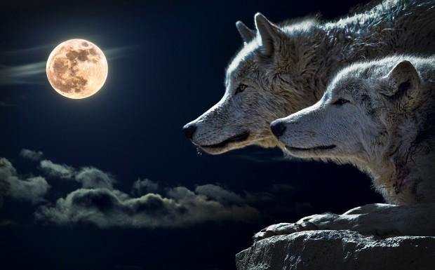 Снимка: Вълци нападнаха младежи в Стара планина, преживяха кошмар!